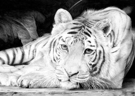Sophie - Tiger drawing