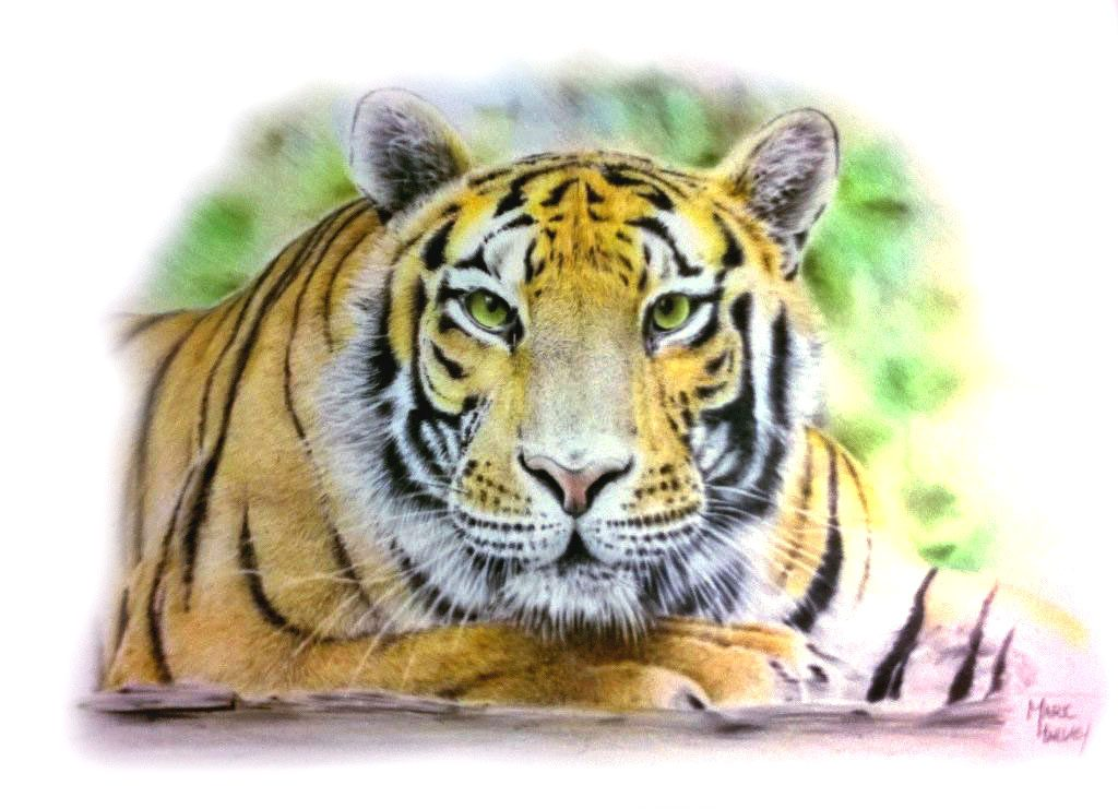 Colour Pencil tiger