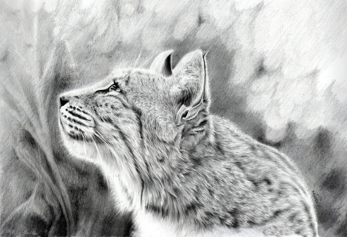 Bob cat drawing
